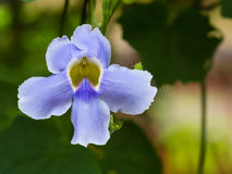 De wijnstok van de laurierklok, Blauwe trompetwijnstok Stock Afbeeldingen