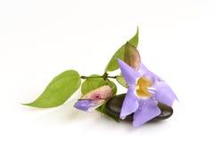 De wijnstok van de laurierklok, de Blauwe bloemen van de trompetwijnstok Royalty-vrije Stock Afbeeldingen