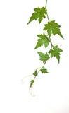De wijnstok van de meloen Royalty-vrije Stock Fotografie