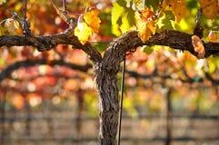 De Wijnstok van de rode Wijn Stock Foto's