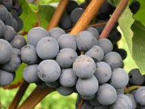 De wijnstok van Dornfelder Stock Fotografie
