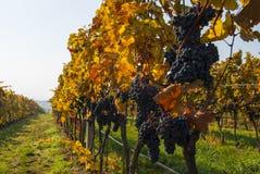 De wijnstok van Moravian Stock Fotografie