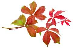 De wijnstokblad van de herfst Stock Afbeeldingen