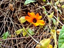 De Wijnstokbloem //Flor DE enredadera van klimplant// stock afbeeldingen