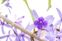 De wijnstokbloem van de Beautyful purpere kroon op vage achtergrond Royalty-vrije Stock Fotografie