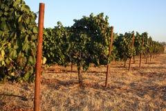 De wijnstokken in de Zomer Stock Fotografie