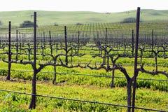 De wijnstokken die van de winter klaar voor de lente worden Stock Foto