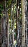 De Wijnstokken en de Schors van de Banyanboom royalty-vrije stock foto