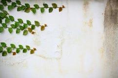 De wijnstokken van de klimop op de muur Royalty-vrije Stock Foto