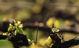 De Wijnstokken van de lente Royalty-vrije Stock Afbeelding
