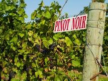 De Wijnstokken van de Pinot Noir stock afbeeldingen