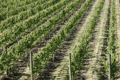 De Wijnstokken van de wijngaard Royalty-vrije Stock Afbeelding