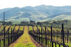 De wijnstokken van de winter klaar voor de lente Stock Afbeelding