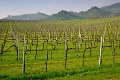 De wijnstokken van Prosecco Stock Foto's