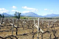 De Wijnstokken van Stellenbosch Stock Afbeeldingen