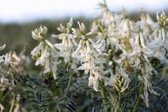 De Wikke van de Wildflowermelk Stock Foto's