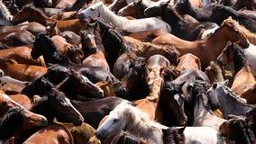 De wild paarden maakten omhoog in de overvolle arena rond tijdens Rapa das Bestas stock footage