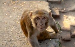 De wilde aap staart in de lens Stock Afbeelding