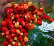De wilde aardbei, of gemeenschappelijke Aardbei & x28; lat Fragaria vesca& x29; Stock Foto's