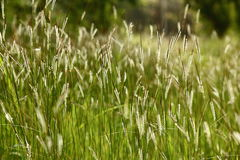De wilde Achtergrond van het Gras Stock Fotografie