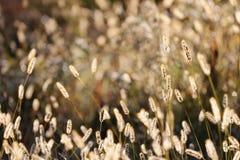 De wilde Achtergrond van het Vossestaartgras in Autumn Sunrise Royalty-vrije Stock Foto