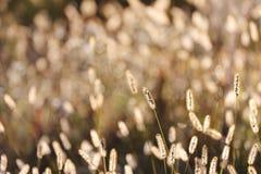 De wilde Achtergrond van het Vossestaartgras in Autumn Sunrise Stock Foto's