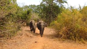 De wilde Afrikaanse Olifantsfamilie en de Baby gaan naar meer stock videobeelden