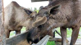 De wilde Amerikaanse elandeneland eet voedsel van container in 4K in een landbouwbedrijf stock footage