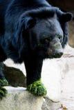 De wilde Amerikaanse zwarte draagt Stock Afbeeldingen