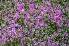 De wilde bloei van chrysantenbloemen Stock Afbeeldingen