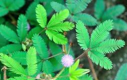 De wilde bloem van de Pudicamimosa stock fotografie