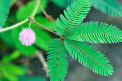 De wilde bloem van de Pudicamimosa Royalty-vrije Stock Afbeelding