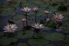 De wilde bloem van Lotus stock afbeelding