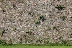 De wilde bloemen groeien op een steenmuur in Clisson (Frankrijk) Stock Fotografie