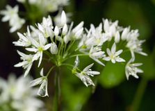 De wilde bloemen van het Knoflook in de Lente die met dauw wordt geladen stock afbeelding