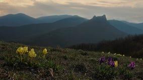 De wilde bloemen van Iris slingeren in de wind tegen de achtergrond van bergen stock footage