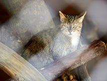 De wilde boskat zit onder de droge logboeken Europese wilde staking, Felis-silvestris stock foto's