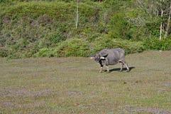 De wilde buffels leven in het pijnboombos, hebben een gewoonte van het leven in weidendeel 3 royalty-vrije stock foto
