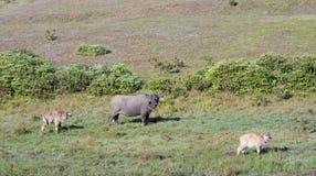 De wilde buffels leven in het pijnboombos, hebben een gewoonte van het leven in weidendeel 2 stock afbeeldingen