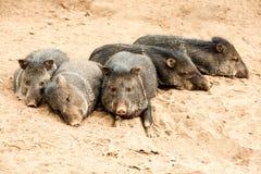 De wilde Collared Familie van het Pekarivarken stock fotografie