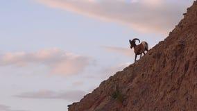 De wilde Dierlijke Hoge Schapen Mannelijk Ram High Ridge van het Woestijnbighorn stock video