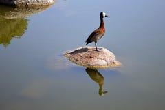 De wilde eend ontspant op de steen in het water stock fotografie