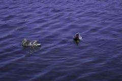 De wilde eendeenden zwemmen op een meer stock afbeelding