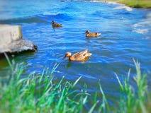 De wilde eendeenden zwemmen in de rivier royalty-vrije stock fotografie