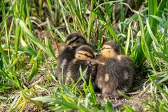 De wilde eendeendjes huddled samen in de lentezonlicht royalty-vrije stock foto's