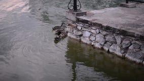De wilde eenden genieten van het water stock footage
