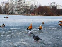 De wilde eenden, shelducks en de duiven lopen op de bevroren stadsvijver op een Zonnige de lentedag stock foto