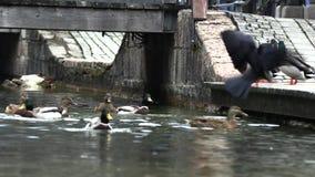 De wilde eenden stoeien op de pijler, langzame motie stock footage