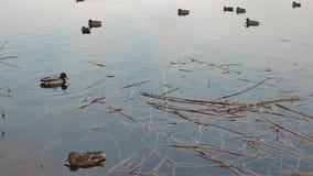 De wilde eenden zoeken voedsel in meer Zonnige pring dag stock video