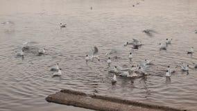 De wilde eenden zoeken voedsel in meer Zonnige pring dag stock videobeelden